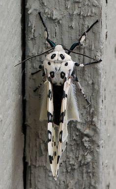 Giant leopard moth or Eyed tiger moth | Flickr - Photo Sharing!