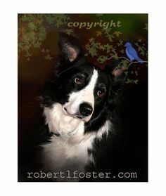 à la frontière art collie, BORDER COLLIE portrait, Blue Bird, art du chien,
