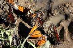 Muddy butterflies - Photo credit: Valerie Kushnerov