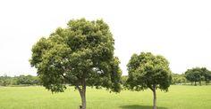 Como restaurar uma árvore. Quando árvores sofrem um trauma, pode ser difícil recuperar sua saúde. Tempestades de gelo podem danificar seus ramos, raios podem rachá-las ao meio, um impacto acidental com um carro ou um equipamento de jardinagem pode prejudicar sua casca. Apesar de parecer um desafio monumental, algumas árvores podem ser trazidas de volta à sua glória anterior ...