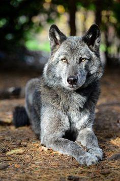 Loup ❤️