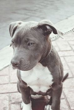 Stunning -> Pitbull Mixed With Husky Puppies #marvelous