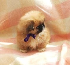 Pekingese puppy - I had a Pekingese growing up...her name was Daisy <3
