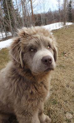 Rare grey coated Newfoundland dog. Is it creepy or cool...?O.O