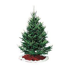 balsam fir christmas tree varieties types of christmas trees all things christmas balsam - Best Christmas Tree Type