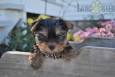 #YorkshireTerrier #Charming #PinterestPuppies #PuppiesOfPinterest #Puppy #Puppies #Pups #Pup #Funloving #Sweet #PuppyLove #Cute #Cuddly #Adorable #ForTheLoveOfADog #MansBestFriend #Animals #Dog #Pet #Pets #ChildrenFriendly #PuppyandChildren #ChildandPuppy #LancasterPuppies www.LancasterPuppies.com Mans Best Friend, Best Friends, Lancaster Puppies, Yorkshire Terrier Puppies, Love To Meet, Animals Dog, Puppies For Sale, Sadie, Puppy Love