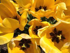 Tulips yellow flowers photo