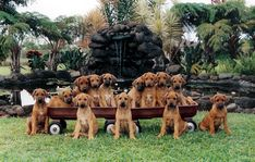 My favorite puppy pic of all time, from the Peaches' Pupukearidge kennel in Oahu, Hawaii Lion Dog, Dog Cat, Cute Puppies, Cute Dogs, Rhodesian Ridgeback Puppies, Animals And Pets, Cute Animals, Tallest Dog, Best Dogs For Families