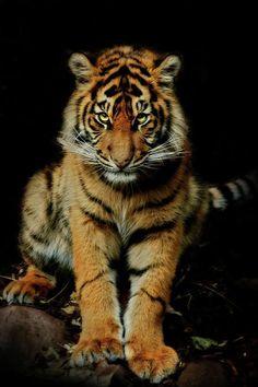 Johore Tiger