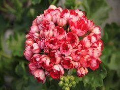 http://www.fuchsiahybrida.pl/sklep/pelargonia_tulipanowe/pelargonia_victoria_andrea_pelargonium