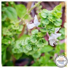One Arizona Garden : Sweet Basil