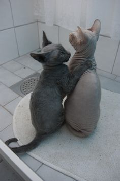 """""""devon rex""""...? I don't know what that means, but I'd love to have a hairless kitty...they are so cute."""