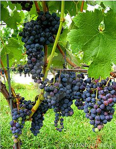 Above the autumn grapes on vines in a  vineyard  with lucious juicy ripe fruit purple merlot grapes ready for harvest to make red wine