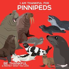 I AM THANKFUL FOR: Pinnipeds! Pinnipeds comprise three the extant families: Odobenidae - the Walrus Otariidae - Eared Seals (Sea. Paper Animals, Zoo Animals, Animals And Pets, Fun Facts About Animals, Animal Facts, Animal Worksheets, Whale Art, Prehistoric Creatures, Animal Posters