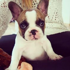 Fawn Pied Frenchie