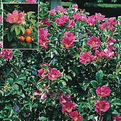 Rosa Rugosa - Shrubs, Hedges and Grasses - Gurney's Seed & Nursery      I would love to plant some of these in my yard.