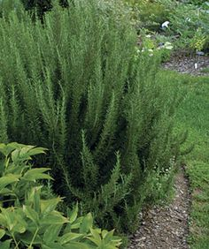 Ornamental/Perennial Herbs 'Salem' rosemary makes a good hedging plant Name: Rosmarinus officinalis 'Salem' Blossom color: blue Bloom time: early spring Plant size: 2 feet tall Zones: 7 to 10 Hedging Plants, Foliage Plants, Shrubs, Herb Plants, Ornamental Plants, Full Sun Plants, Live Plants, Evergreen Herbs, Fast Growing Evergreens