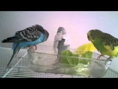 ▶ Parakeets Bathing, Swimming, & Taking a Bath ~Very Cute~ - YouTube#t=46
