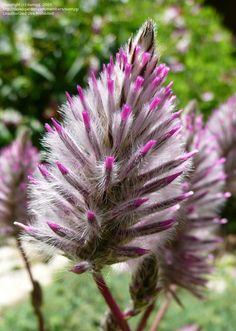 "Bloom for Feb. 23 2012 is Lambs-tail (Ptilotus exaltatus) 'Joey' a new-ish and very cool plant from ""down under."" Photo by sunnyg"