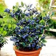 container gardening blueberries.