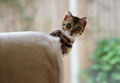 Bengal kitten - 'I know I'm being naughty, but, I'm so darned cute, what you really want to do is pick me up and snuggle with me'