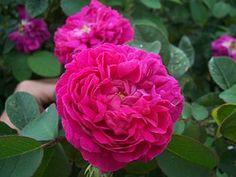 Eine der besten historischen Rosensorten, weil pflegeleicht, robust, mit langer Blütezeit und starkem Duft.