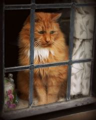 This cat looks exactly like my Hamish! Ain't nuttn' like an orange striped cat! Cat IN WINDOW - http://crazyforkitties.net/cat-in-window/