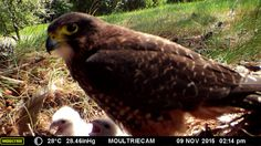 Falcon caring for it's chicks at Wairakei Golf + Sanctuary, November Fallow Deer, S Icon, Guinea Fowl, November 2015, Predator, Color Mixing, Wildlife, Golf, Animals