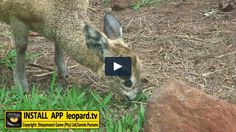 Have you ever wondered what those black spots under the klipspringer's eyes are? Here is your chance! Black Spot, Wildlife, Science, Eyes, Tv, Television Set, Cat Eyes, Television