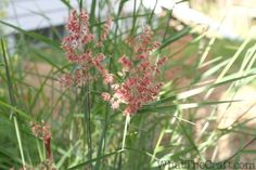 Graceful grasses blue mohawk soft rush juncus for Ornamental grasses that stay green all year