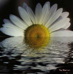 Google Image Result for http://posty.net/flowerpix/reflex_daisy.jpg