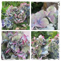 Hydrangea #flower