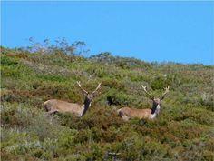 La berrea.- La berrera es un sonido profundo y largo, como un potente mugido, producido por los machos de ciervos durante el celo, que enseguida da lugar al violento choque de las cuernas.