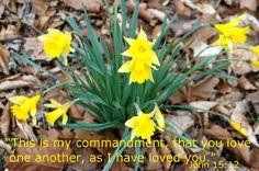 Spring Daffodils 201