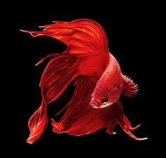 El pez luchador siamés ( Betta splendens ), también conocido como pez beta, es una especie de agua dulce, qu...
