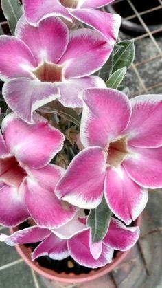 .adenium flowers
