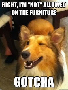 Very funny. My dog looks a lot like that. He thinks he is sneaky when he gets on the furniture. He is not, at all.