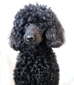 10 months old poodle puppie. Pudel.