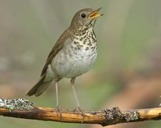 Bicknell's Thrush (Catharus bicknelli) Eastern United States and Canada