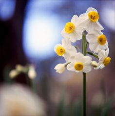 prettylittleflower:    Narcissus by yocca on Flickr.