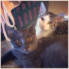 Is it #Caturday yet Mommy?  #kitten #russianblue #california #hello #intense #ilovemycat #catlover #catsofinstagram