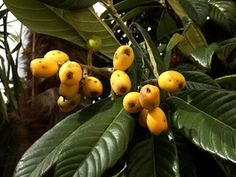 Loquat leaf is a traditional remedy for respiratory support, liver health, and even the brain. It is a potent antioxidant and here we examine its benefits.