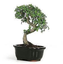 mini bonsai - Google Search