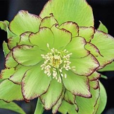 """Lime green!  Irish Ruffles Double Hellebore - partial shade to full shade perennial for zones 4-8.  18-20"""" tall"""