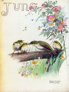 Willow warbler feeding young - Morning Earth Artist/Naturalist Edith Holden