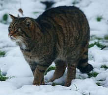 Wildcat - Wikipedia, the free encyclopedia