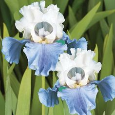 Bearded Iris Bulbs at Lowes.com Daffodil Bulbs, Tulip Bulbs, Daffodils, Dwarf Iris, Bulbs And Seeds, Flower Beard, Amaryllis Bulbs, Lily Bulbs, Outdoor Flowers