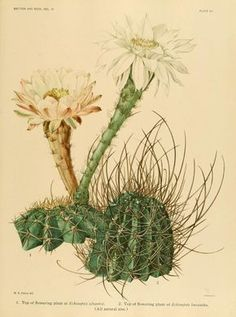 Echinopsis. The Cactaceae : descriptions and illustrations of plants of the cactus family v.3.  Washington :Carnegie Institution of Washington,1919-1923.  Biodiversitylibrary. Biodivlibrary. BHL. Biodiversity Heritage Library