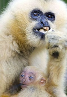 A baby gibbon is fed by its mother ed Lina in Osnabruck zoo, northern Germany