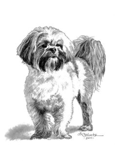 The Lhasa Apso Sketch